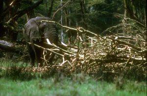 Elephant bulls love acacias
