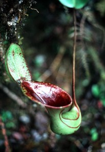 Low's pitcher plant