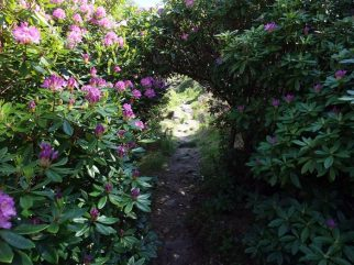 Tunnel through the rhododendrons