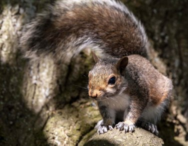 Smudge 9000 grey_squirrel
