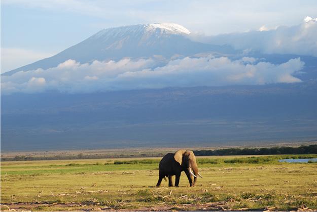 Kilimanjaro_bull