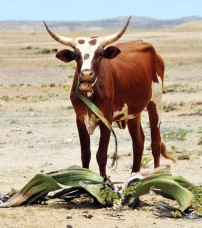 youg bull eating one of oldest and rarest African plants within a National Park