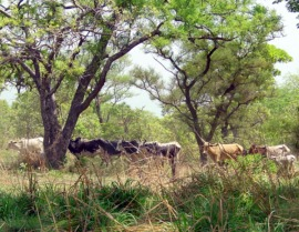 Cattle in W transborder park in Burkina Fasophoto by C Paolini